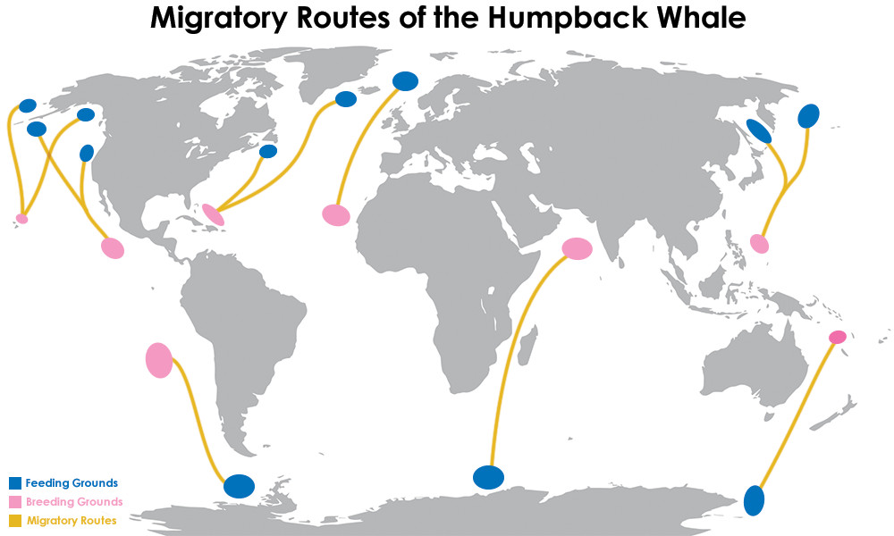 Migratory-Routes-of-the-Humpback-Whale.jpg